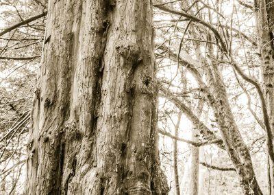 Sacred Yews detail