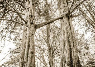 Sacred Yews full image