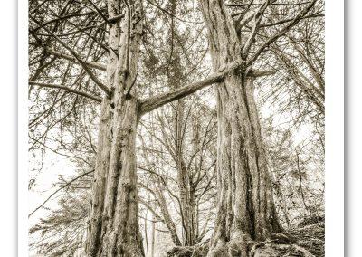 Sacred Yews